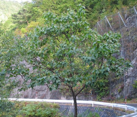 キリの樹形(秋)